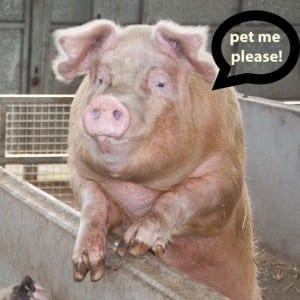 pet my pig