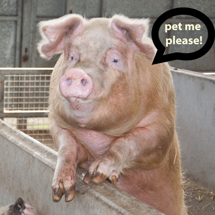 pet me please Pet My Pig Please